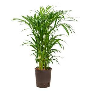 Areca palm lutescens hydrocultuur plant