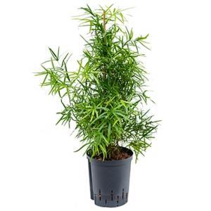 Asparagus falcatus M hydrocultuur plant