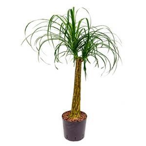 Dagaanbieding - Beaucarnea recurvata stam 60 hydrocultuur plant dagelijkse aanbiedingen