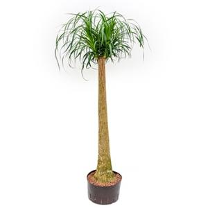 Beaucarnea recurvata stam 120 hydrocultuur plant