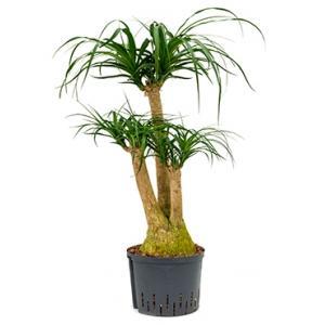 Beaucarnea recurvata vertakt M hydrocultuur plant