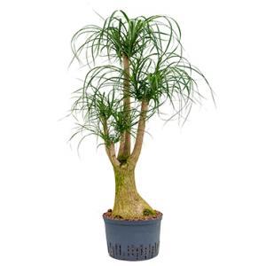 Beaucarnea recurvata vertakt L hydrocultuur plant
