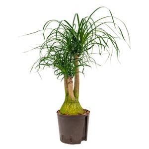 Beaucarnea recurvata vertakt S hydrocultuur plant