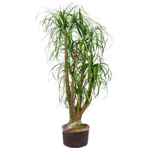 Beaucarnea recurvata vertakt XL hydrocultuur plant