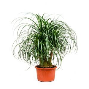 Beaucarnea recurvata sofi kamerplant