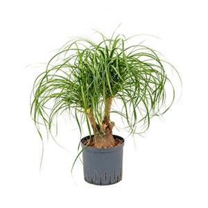Beaucarnea recurvata vertakt 30 hydrocultuur plant