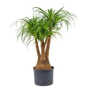 Beaucarnea recurvata vertakt 60 S hydrocultuur plant