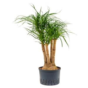 Beaucarnea recurvata vertakt 60 M hydrocultuur plant