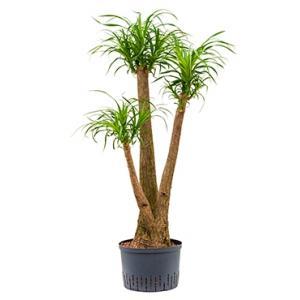 Dagaanbieding - Beaucarnea recurvata vertakt 80 S hydrocultuur plant dagelijkse aanbiedingen