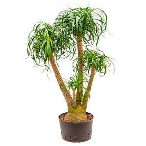 Beaucarnea recurvata vertakt 80 M hydrocultuur plant