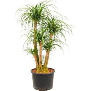 Beaucarnea recurvata vertakt 80 L hydrocultuur plant