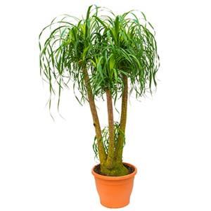 Beaucarnea recurvata concord kamerplant