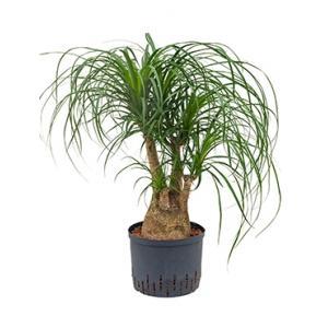 Beaucarnea recurvata vertakt 45 hydrocultuur plant