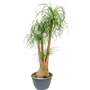 Beaucarnea recurvata inekes kamerplant