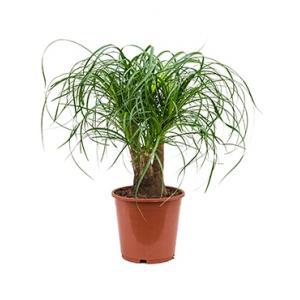 Beaucarnea recurvata everto kamerplant