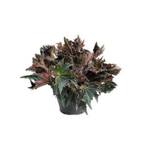 Bladbegonia break dance kamerplant
