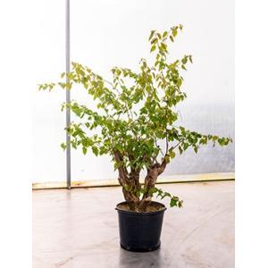 Bougainvillea glabra bonsai kamerplant