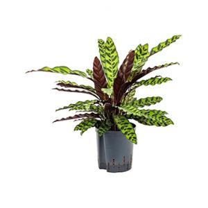 Calathea insignis lancifolia hydrocultuur plant