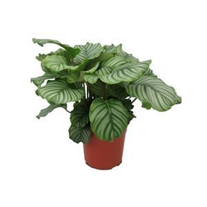Dagaanbieding - Calathea orbifolia kamerplant dagelijkse aanbiedingen