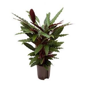 Dagaanbieding - Calathea rufibarba wavestar hydrocultuur plant dagelijkse aanbiedingen