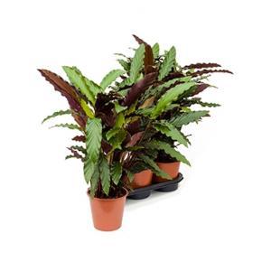 Calathea rufibarba wavestar S kamerplant