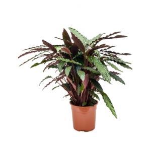 Calathea rufibarba wavestar M kamerplant