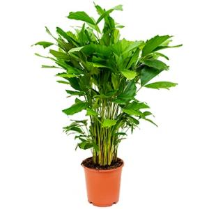 Caryota Palm mitis S kamerplant