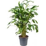 Caryota Palm mitis L kamerplant