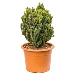 Cereus cactus monstrosus coral kamerplant