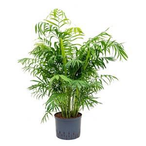 Chamaedorea palm elegans L hydrocultuur plant