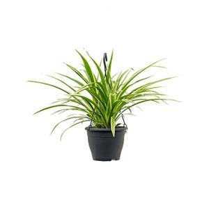 Chlorophytum irse hangplant