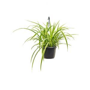 Chlorophytum laxum hangplant