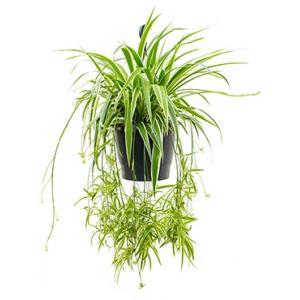 Chlorophytum ocean hangplant