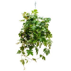 Cissus ellen danica hangplant