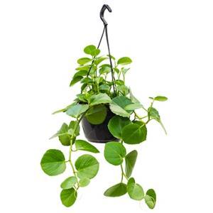 Cissus rotundifolia hangplant