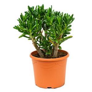 Dagaanbieding - Crassula gollum M kamerplant dagelijkse aanbiedingen