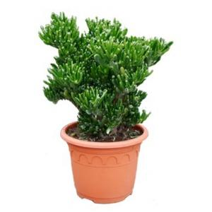 Crassula horntree M kamerplant