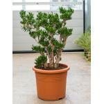Crassula horntree XL kamerplant
