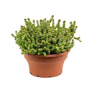 Crassula hottentot M hangplant