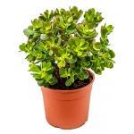 Crassula ovata minor S kamerplant