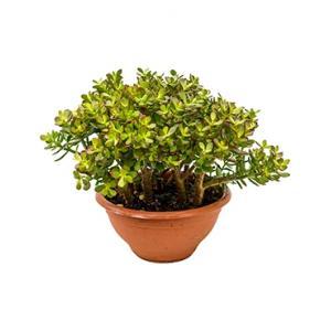 Korting Crassula ovata minor L kamerplant