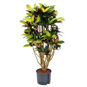 Croton iceton L hydrocultuur plant