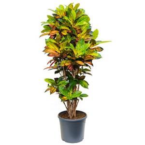 Croton iceton L kamerplant