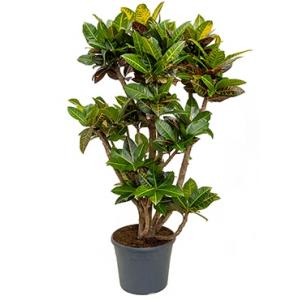Dagaanbieding - Croton petra XXL kamerplant dagelijkse aanbiedingen