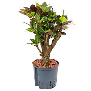 Croton petra bonsai hydrocultuur plant