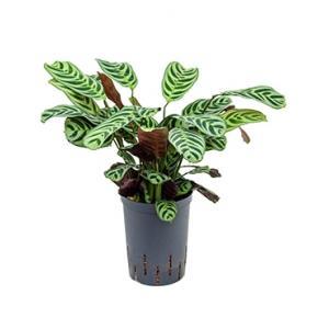 Calathea Ctenanthe burle maxi amablis M hydrocultuur plant