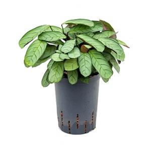 Calathea Ctenanthe burle maxi amagris S hydrocultuur plant