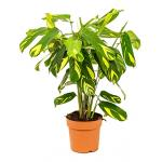 Calathea ctenanthe lubbersiana kamerplant