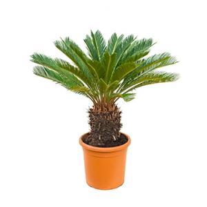 Cycas Palm revoluta stam L kamerplant