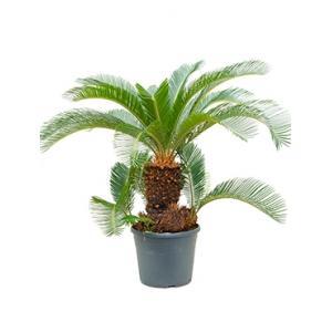 Cycas Palm revoluta stam multi S kamerplant
